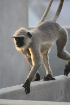 Monkey scaling the rooftops at sunset