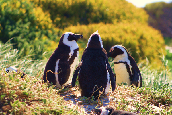 African Penguins in Boulder Bay South Africa To the Cape and Beyond