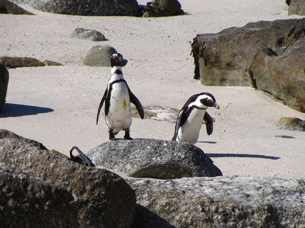 Waddling penguins take to the beach in Boulder Bay