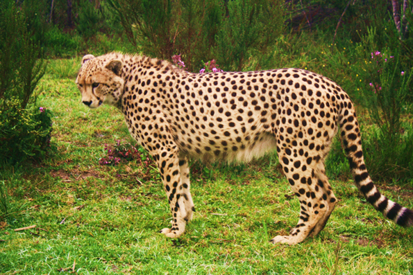 Cheetah Body Wild Cats