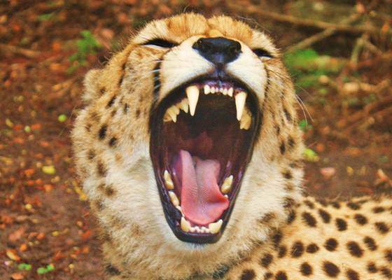 Cheetah Yawn Wild Cats