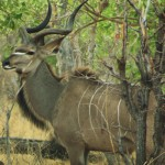 A male kudu proudly shows off his warrior markings