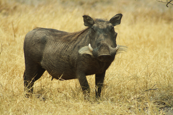 Ever-comical warthog grazing the grasslands