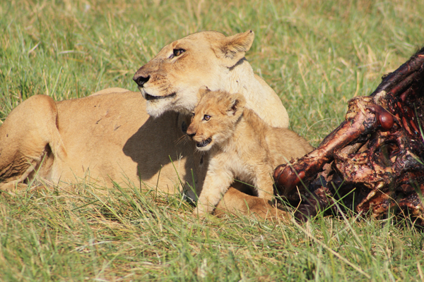 Female lion and her cub snack on their latest kill