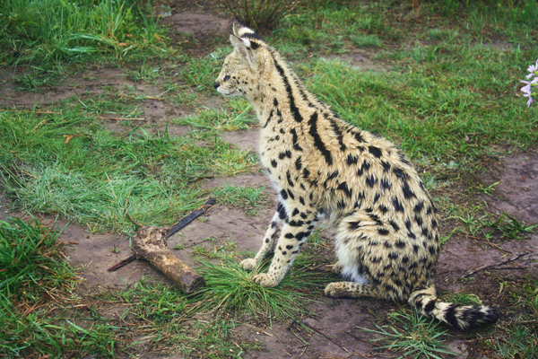 Serval1 Wild Cats