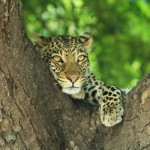 The captivating eyes of a leopard just feet above our car
