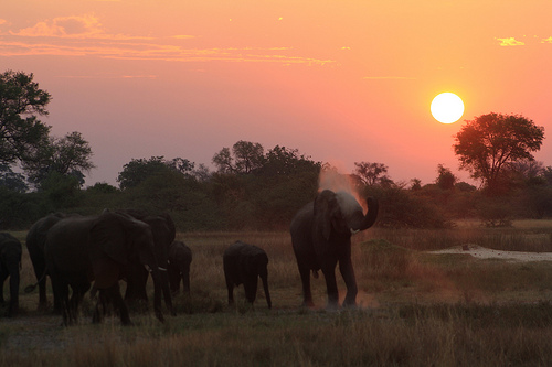 Elephants at Sunset in Moremi Game Reserve